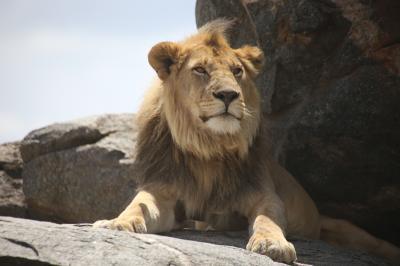 ベビーラッシュのタンザニアのはず・・・� セレンゲッティー国立公園 ジャングル大帝レオ気取って?