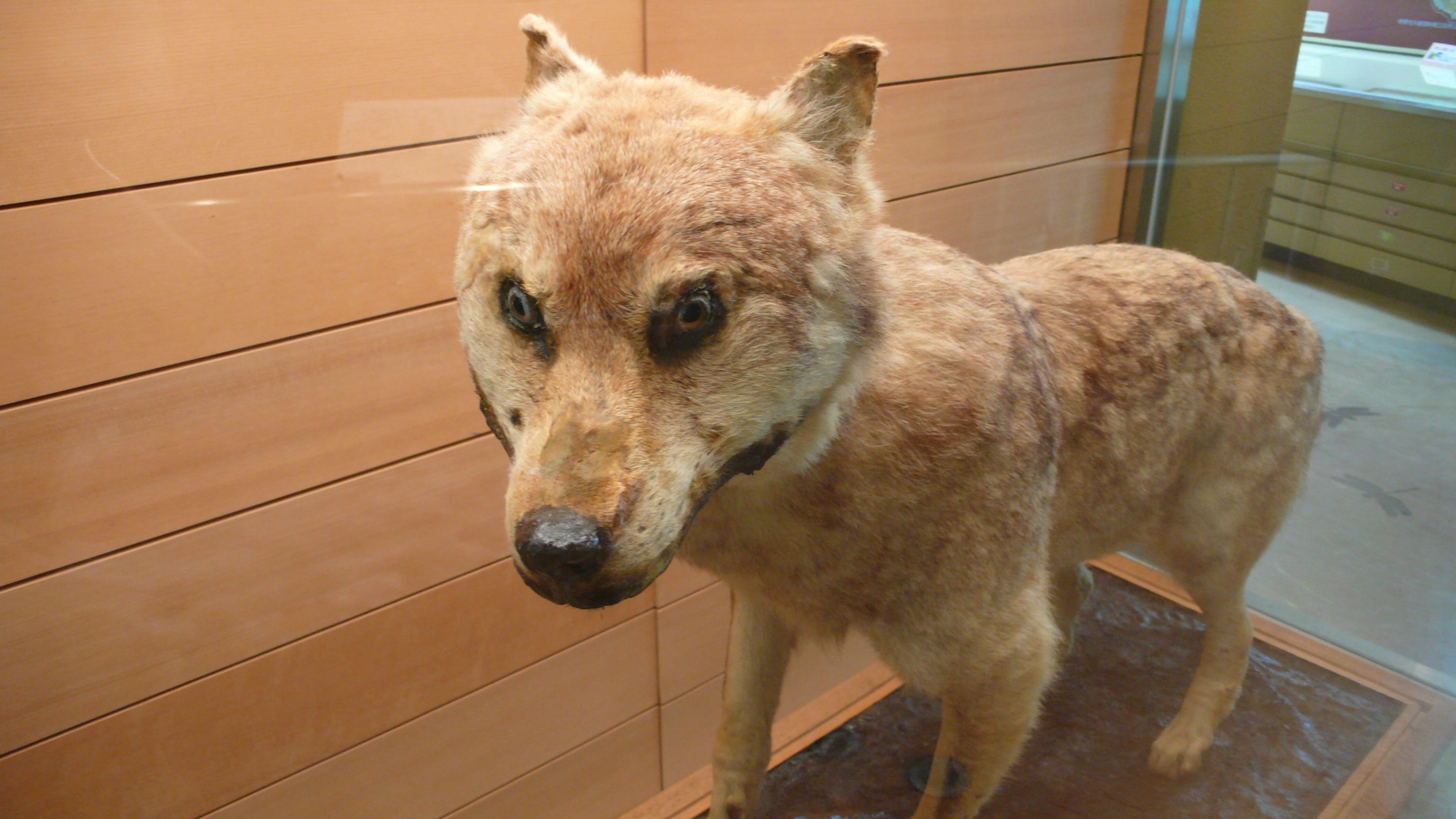 ニホンオオカミの画像 p1_31
