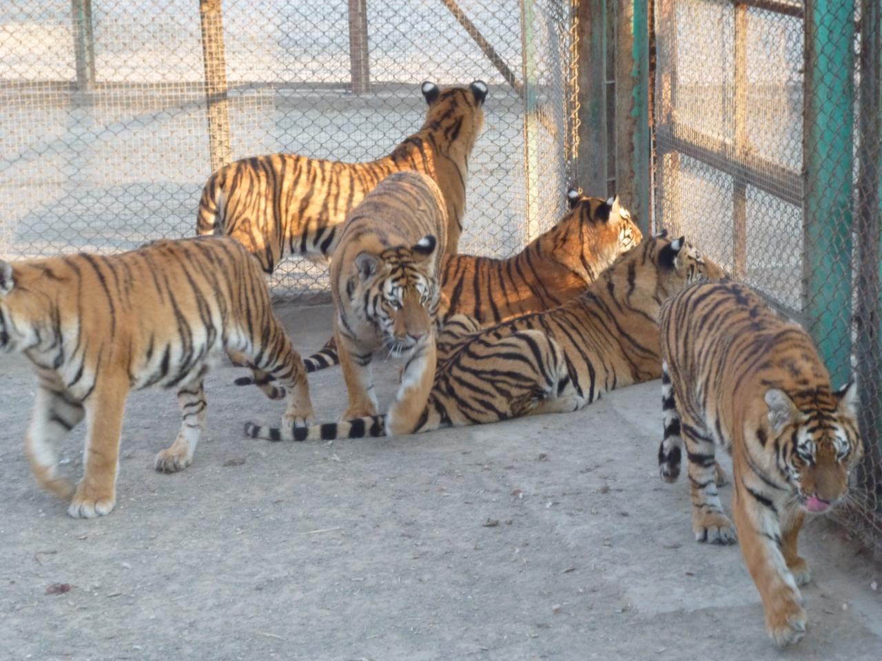 虎の画像 p1_30