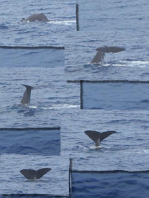 ザトウクジラの画像 p1_27