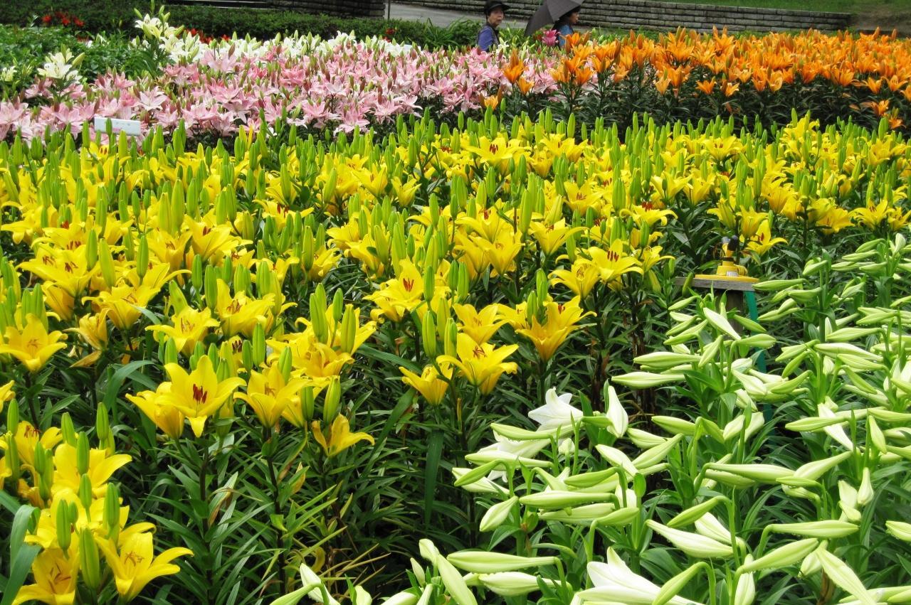 カサブランカ (植物)の画像 p1_35