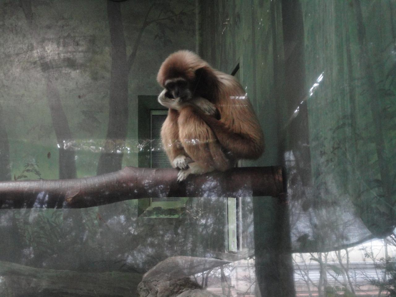 テナガザルの画像 p1_32