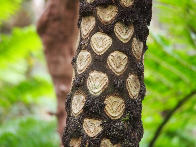 ヒカゲヘゴの画像 p1_13