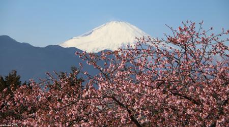 富士山と桜と梅の饗宴@まつだ桜まつり、小田原梅まつり