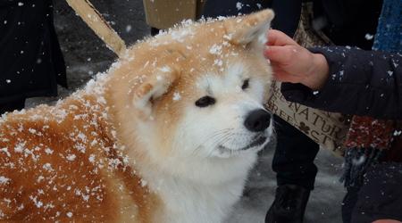 秋田湯沢の犬っこまつり♪10年分ぐらいの雪を見て、10年分ぐらいの犬っこも見てきたぞ!