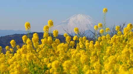 春の足音 菜の花満開吾妻山公園