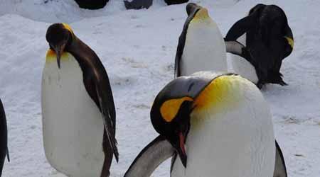 さっぽろ雪まつりと北海道7つの冬物語� 旭山動物園〜旭川冬まつり〜層雲峡氷瀑まつり