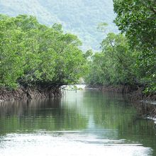 世界的にも貴重なマングローブの森