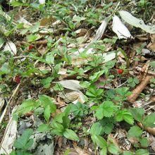 赤い小さな実は野イチゴで、甘かったですよ
