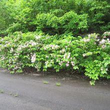 旧国道46号路面端に咲くウツギ、土はわずかですが強い!