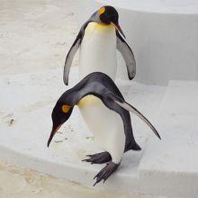 キングペンギン、かわいい!