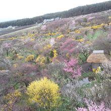 色々な梅を展望台から眺められます