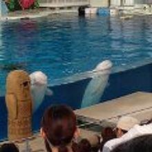 かわいい白イルカ