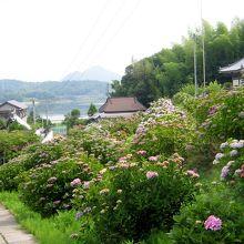 阿讃山脈のは入り口あたりになるのでしょうか。丘陵地帯の中に素晴らしい紫陽花を見ることができます