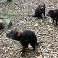 写真:タスマニアンデビル保護パーク