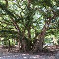 写真:ガジュマル大樹