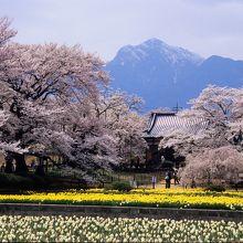 樹齢2000年の古木、生長した子孫の桜とともに甲斐の山里に咲き誇る