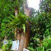 フクギ並木にある巨木