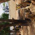写真:タイガー テンプル