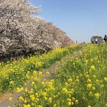 桜並木と菜の花