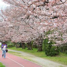陸上競技場北側の桜