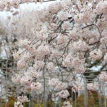 牡丹芍薬園の桜