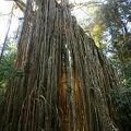 写真:カーテンフィグツリー国立公園