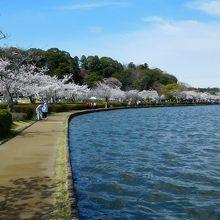 千波湖岸の桜並木