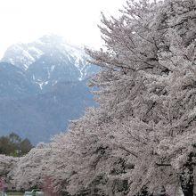 甲斐駒ケ岳を背景に見る満開の桜並木