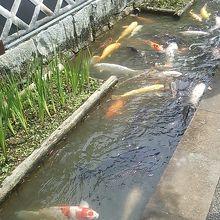 殿町通りの水路の鯉