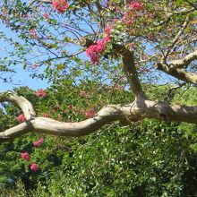 庭には梅 小石川の下屋敷から移植した桜 松など 緑豊か