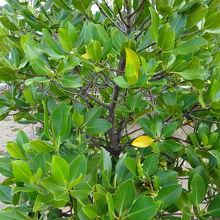黄色い葉に塩分を集中させ落葉→排出