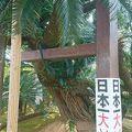 写真:坂井神社の大ソテツ