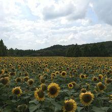 広大な花畑