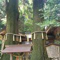 写真:高千穂神社 夫婦杉
