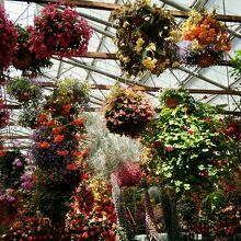 温室なので花はいつも満開です