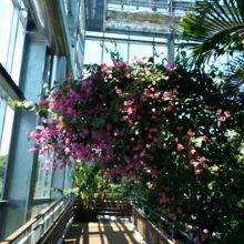 宮崎県のお花ブーゲンビリアです。