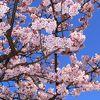 日本一の 早咲き あたみ桜