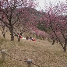 梅の木がキレイ