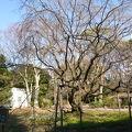 写真:六義園 しだれ桜
