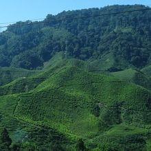 斜面いっぱいの茶畑