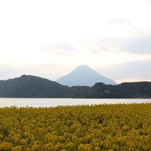 菜の花と開聞岳のコラボが見られます