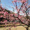 早咲きのピンクの桜