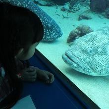 巨大なお魚を食い入るように見つめる娘。美味しそうって。(笑