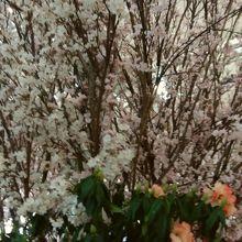 桜の飾り付け