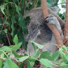 コアラを抱いて写真撮影