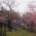 都立神代植物公園梅まつり