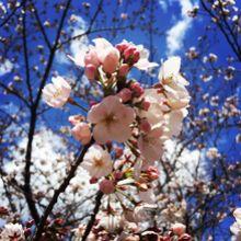 浜町公園の桜