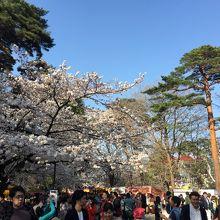 大宮公園の桜と見物客