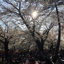 大宮公園の桜と花見客
